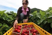 Ve Svádově mají sklizeny přibližně tři čtvrtiny oblíbených jahod.