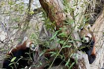 Panda červená. Samice je vlevo.