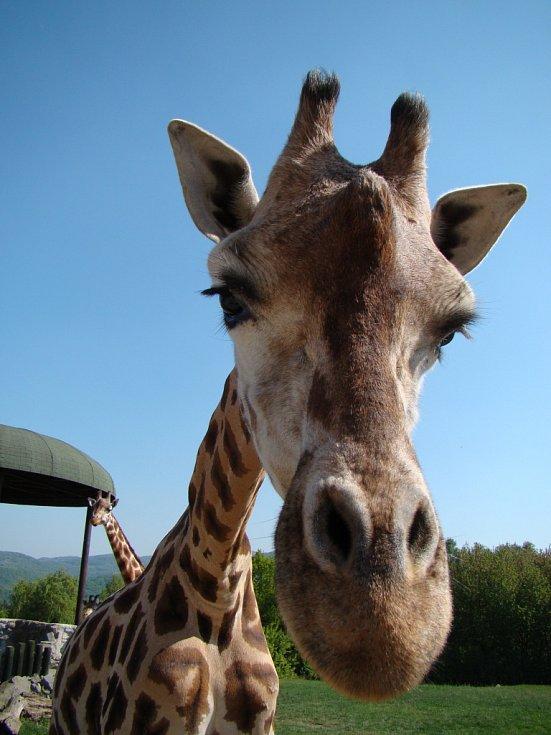 Zoo Ústí nad Labem - ilustrační foto. Žirafa Rotschildova