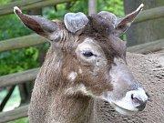 Nový chovný samec jelena bělohubého v ústecké zoo.