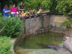 Stěhování aligátora Libora do venkovní expozice.