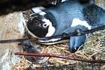 Mládě tučňáka brýlového v ústecké zoo