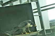 Prakticky hned po instalaci se Ledvík s Rexou zabydleli v sokolí budce umístěné na chladicí věži Paroplynového cyklu v Počeradech. Bohužel jejich snaha o zahnízdění a vyvedení mladých vyšla letos naprázdno.