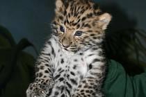 Ve čtvrtek 6. září ráno porodila samice levharta mandžuského dvě zdravá, životaschopná mláďata.