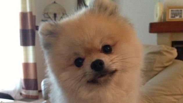 Pes rasy Pomeranian.