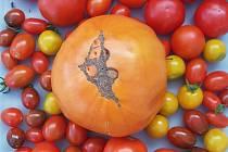 To je obr! Čtenářka z Trmic vypěstovala skoro kilové rajče