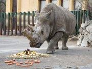Seniorka Zamba oslavila 38 let chovu nosorožců tuponosých v ústecké zoo.