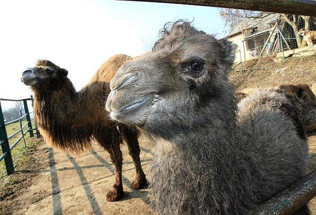 Ústecká zoologická zahrada představila své nejnovější mládě, samičku velblouda dvouhrbého.