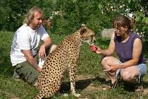 Roman Nešetřil ze zoologické zahrady s gepardicí Jane