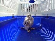 Hlídka mladého dravce odchytla a převezla do záchranné stanice pro dravé ptáky na Mariánské skále, kde byla poštolka předána do péče odborníků.