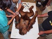 Vyšetření orangutana Budiho.
