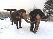 Sněhuláky a koulovačky si během zimy užívají slonice Kala a Delhi.