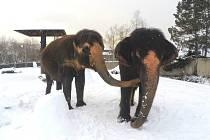 Slonice Kala a Delhi si na archivním snímku užívají zimní radovánky