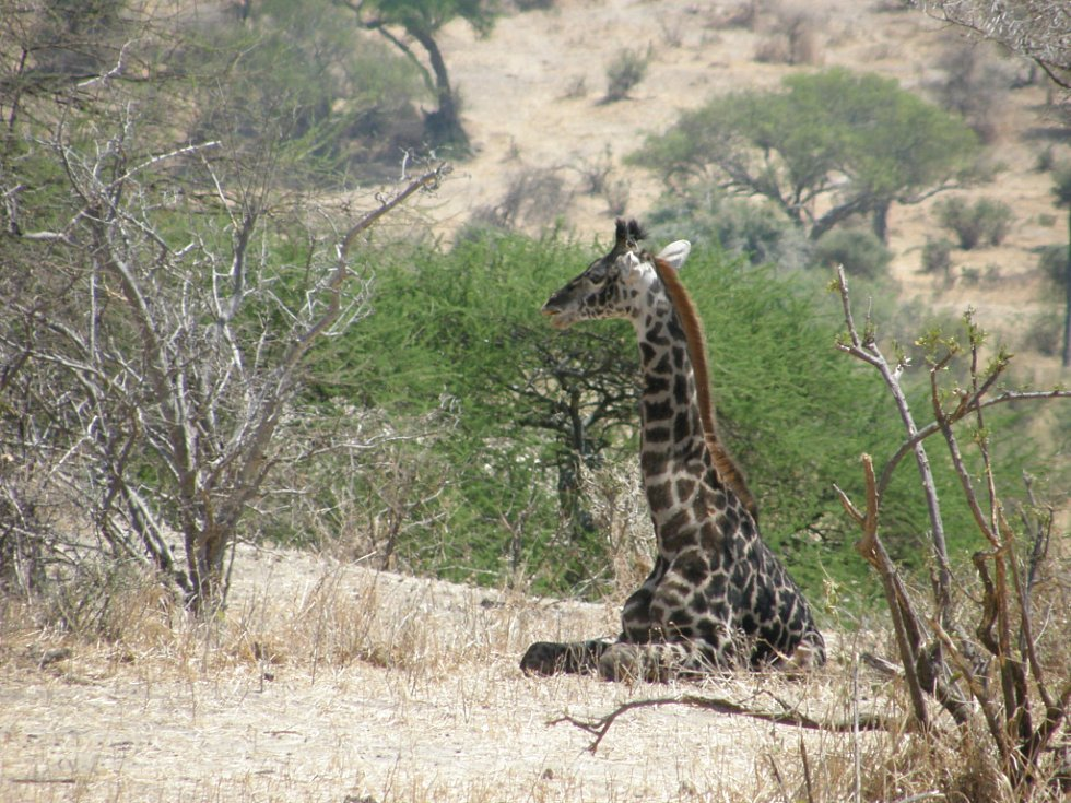 Žirafu Rothschildovu v Národním parku Tarangire v Tanzanii vyfotografoval a obrázek zaslal Petr Kalous z Liberce.