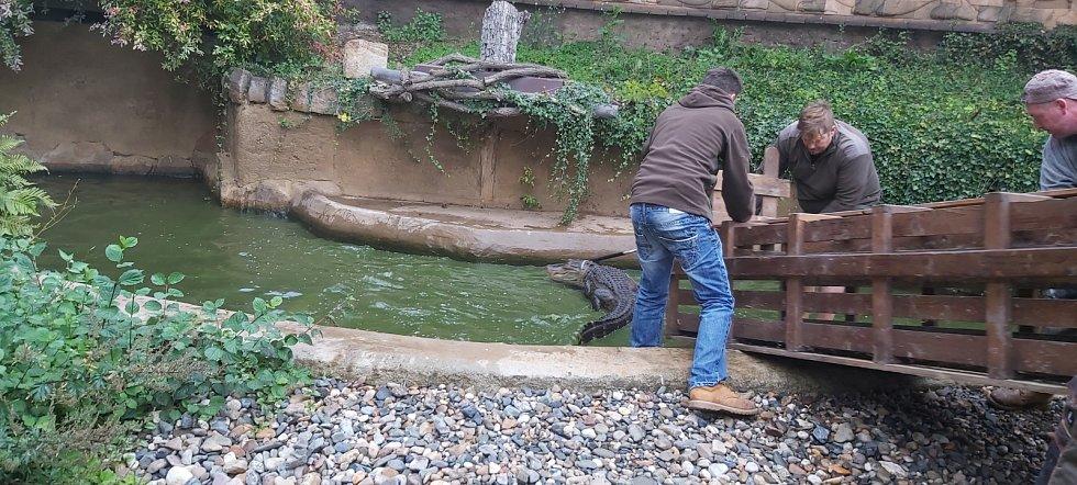 Stěhování aligátorů v ústecké zoo do zimoviště