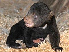Mládě medvěda malajského v ústecké zoo.
