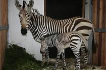 Jubilejní sté mládě zebry Hartmannové se narodilo v ústecké zoo.