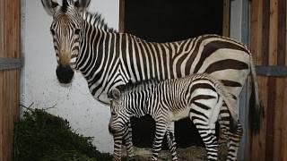 Zebra datovania