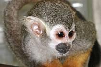 Kotul veverovitý je zapsán v Mezinárodní červené knize ohrožených druhů