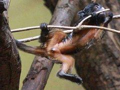 Mládě tamarína bělohubého v ústecké zoo.