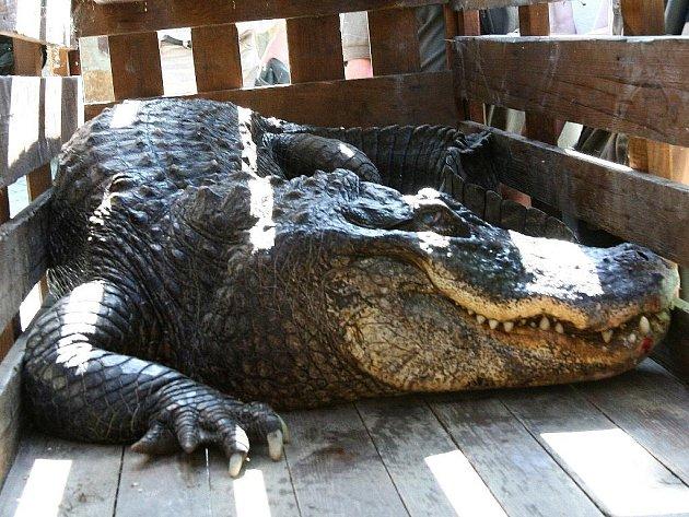 Aligátor z ústecké zoo už je zase ve svém výběhu