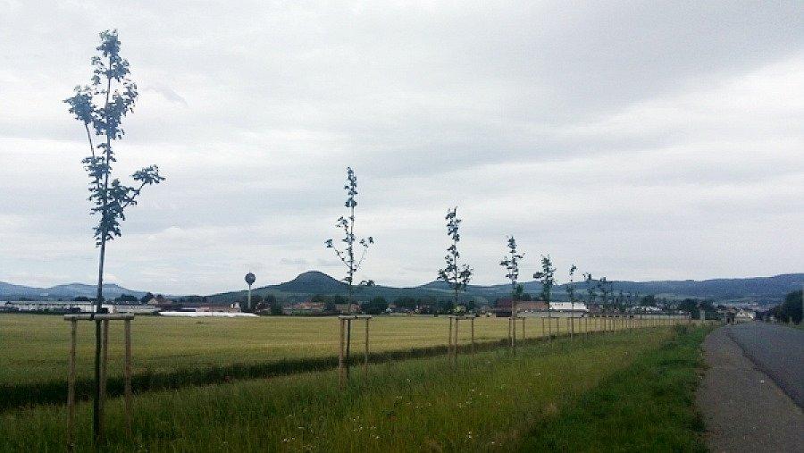 Javorové stromořadí u Nových Kopist