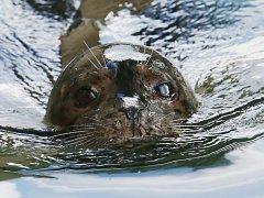 Ústecká zoo se chlubí novým tuleněm.