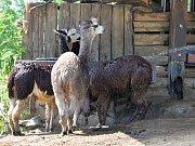 Chlazení lam v ústecké zoo