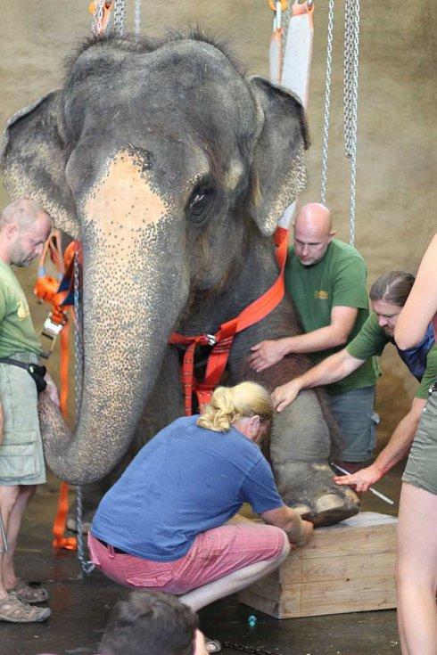 Operace levé končetiny indické slonice Kaly z ústecké zoo.