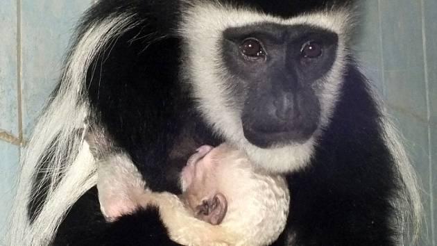 Prvním mládětem v zoo je gueréza.