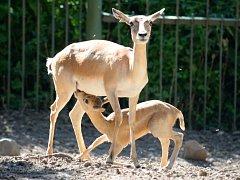 Antilopa jelení s mládětem.