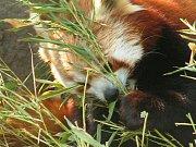 Zoo Ústí nad Labem - ilustrační foto. Panda červená