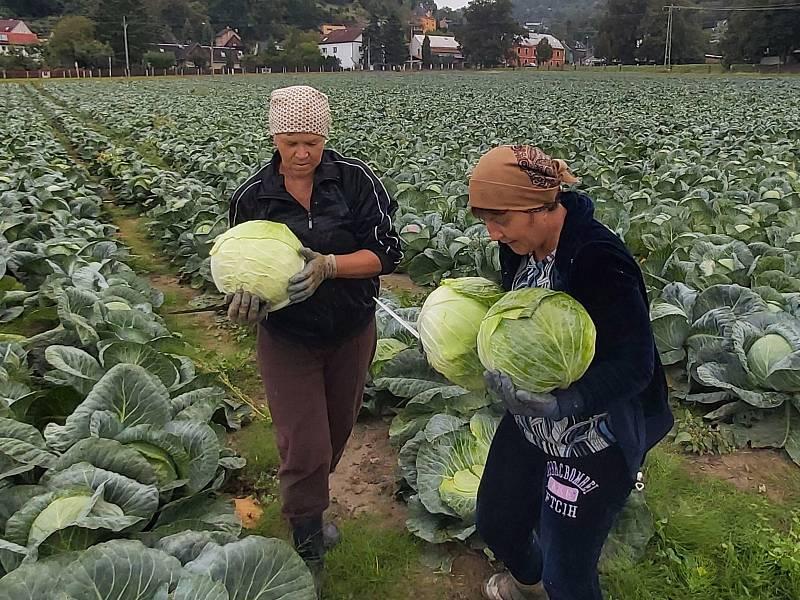 Statkáři Štrymplové se připravují na krouhání zelí, to začíná právě dnes. Na poli pracují hlavně brigádníci a sezónní pracovnice.
