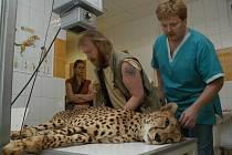 VÁCLAV POŽIVIL je také hlavně zkušený veterinář. Účasnil se například unikátní operace, při níž ústecká gepardice Jane dostala jako první gepard na světě totální endoprotézu.