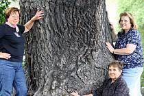 Dub letní, finalistu ankety Strom roku 2012 z Ústeckého kraje, najdete za Obecním úřadem v Proboštově.