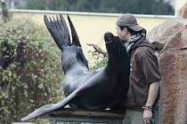 Moritz, lachtan tmavý (kalifornský), byl v ústecké zoo od roku 1999.