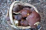 O radost z krásných hub se podělila Šárka Smetanková zÚstí nad Labem. Sbírala ve Žlebu