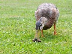 Nájezdy slimáků, kteří terorizují zahradu a plení úrodu, dokáže zlikvidovat tato exotická kachna. Přebornice z Indonésie si na nich doslova pochutnávají.