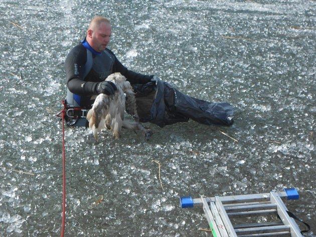 Za pomoci žebříku a horolezeckých lan se strážníci dostali k labuti na zamrzlé Miladě.