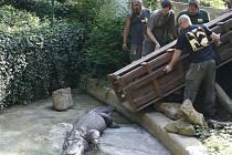 Stěhování aligátora Libora v ústecké zoo.