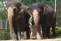 Slonice Delhi (vlevo) a Kala v ústecké zoo.