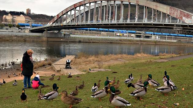 Zdravotní procházku kolem ústeckých mostů vyšperkovaly kachny