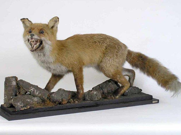 Dermoplatický preparát lišky obecné