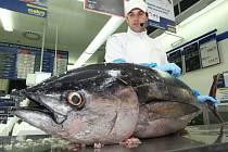 Porcování a ochutnávka čerstvého tuňáka zaujala mnoho návštěvníků. Kus vážil 45 kilogramů a dlouhý byl asi metr a půl.