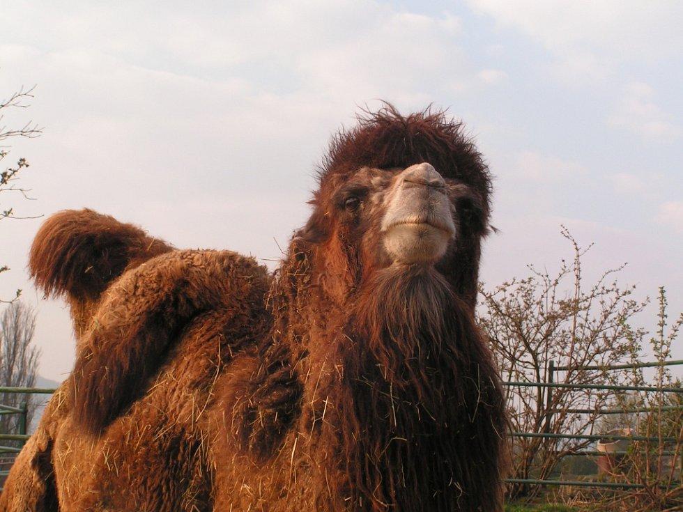 Zoo Ústí nad Labem - ilustrační foto. Velbloud dvouhrbý