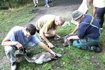Kroužkování pomáhá ochráncům přírody monitorovat migraci labutí.