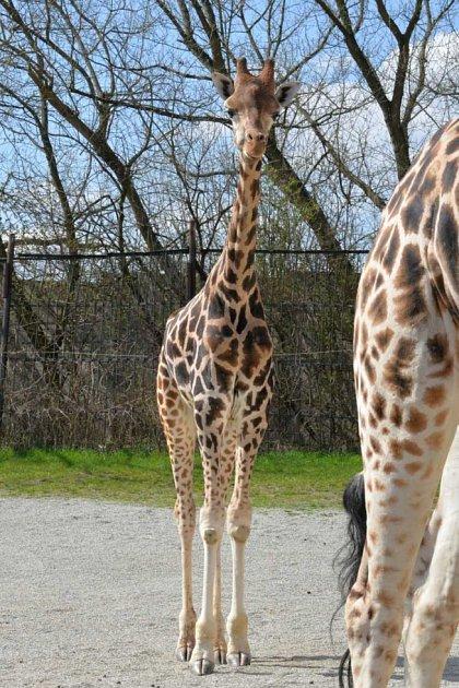Saul, samec žirafy Rotschildovy vústecké zoo.