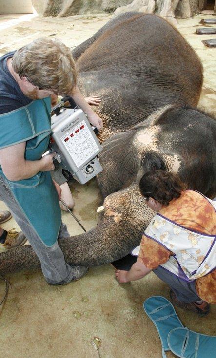 Rentgenové vyšetření ústeckých slonic.