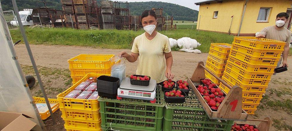Sezónní dělnice se vrátily na jahodová pole ve Svádově. Sklizeň je nyní v plném proudu. Opozdilo ji chladné počasí. Loni přitom úrodu z velké části poničily mrazíky a sklizeň zkomplikovala pandemie. Letos svádovským jahodám konkurují dovozové z Polska.