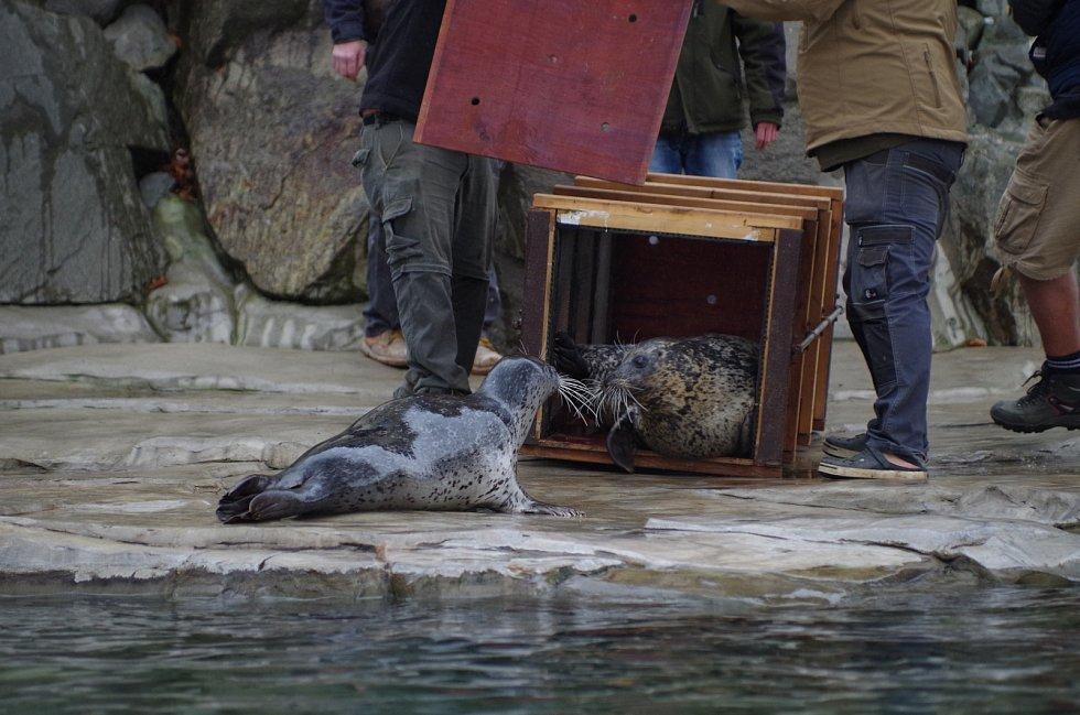 Spojování tuleňů v ústecké zoologické zahradě
